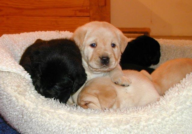 Breeders | The Labrador Club