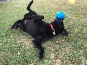 Lab Rescue | The Labrador Club